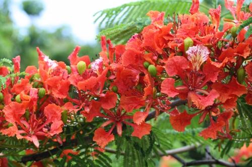 "Royal Poinciana, ""flame"" tree, US Virgin Islands; Photo:DFawcett"