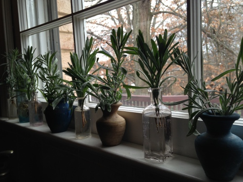 Lavender on my window sill, a mini winter garden; Photo:KFawcett