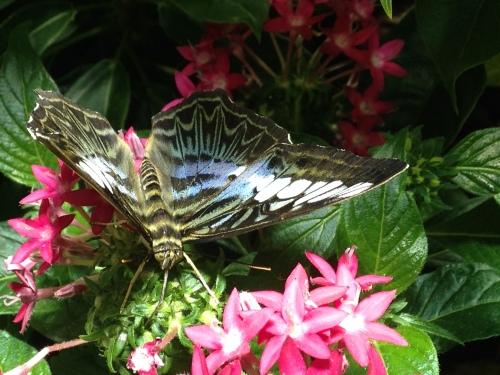 Sphinx Moth, Smithsonian Natural History Exhibit; Photo:KFawcett
