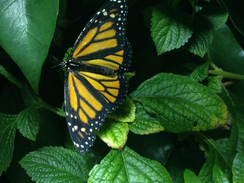 Monarch butterfly, Smithsonian Natural History Exhibit; Photo:KFawcett